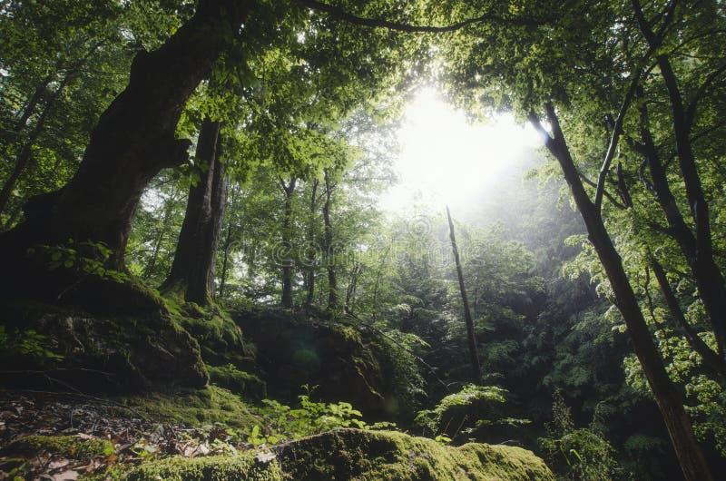 Groen natuurlijk bos met mos in de zomer stock foto's