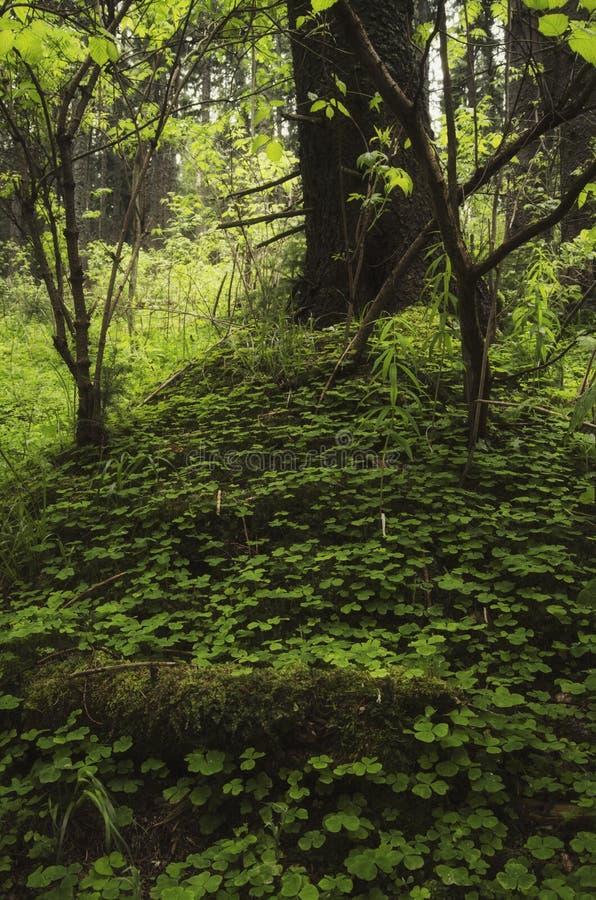 Groen natuurlijk wild bos met weelderige vegetatie en boom stock afbeeldingen