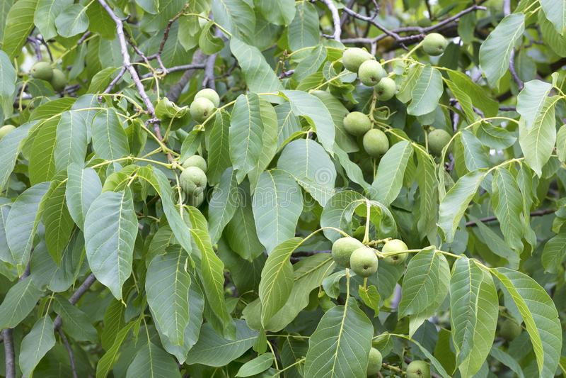 Groen okkernootfruit op een jonge heldergroene boom stock afbeeldingen