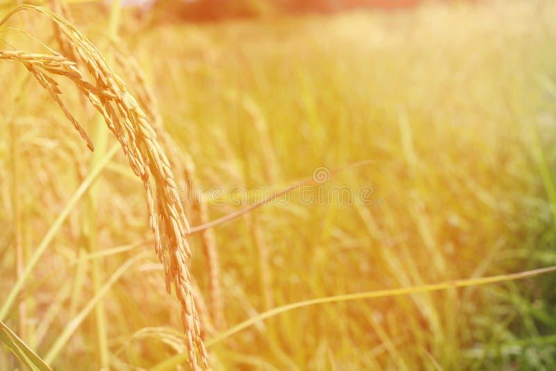 Groen oor van rijst in padiepadieveld onder zonsopgang royalty-vrije stock afbeeldingen