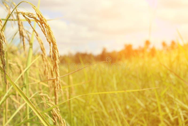 Groen oor van rijst in padiepadieveld onder zonsopgang stock afbeelding