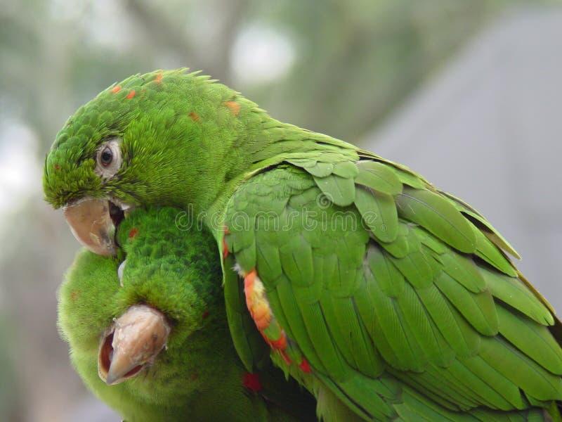 Groen Paar 2 van de Papegaai royalty-vrije stock afbeeldingen