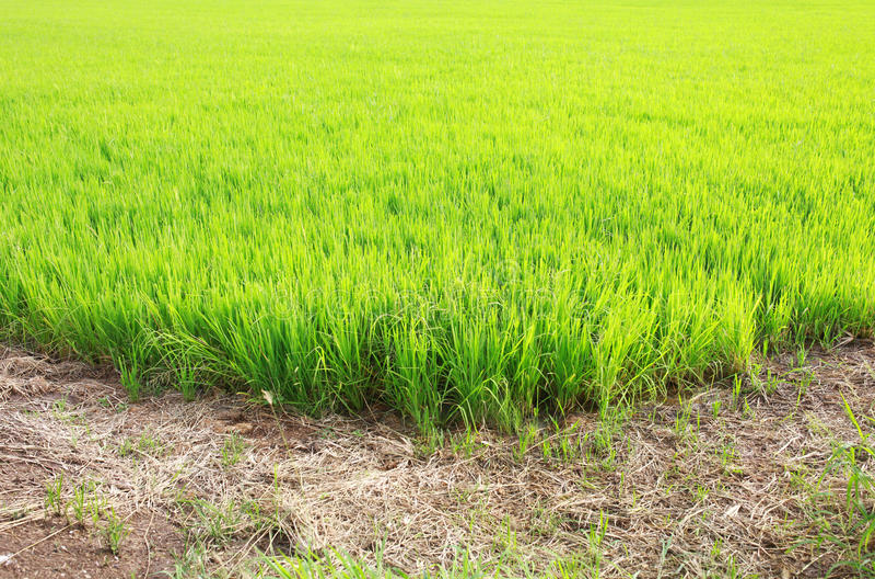 Groen padiepadieveld met grondweg stock fotografie
