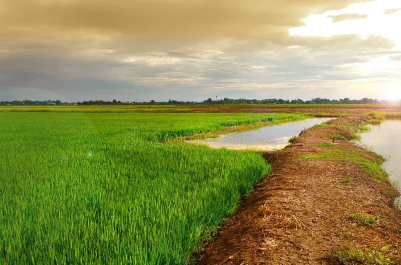 Groen padiepadieveld met lichte zon stock fotografie