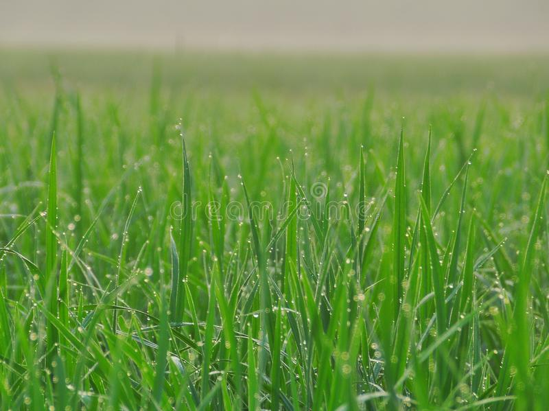 Groen padieveld bij avond met mooie hemelachtergrond royalty-vrije stock foto's