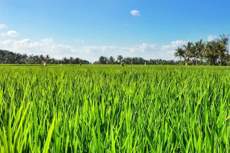 Groen padieveld met blauwe hemel royalty-vrije stock foto's