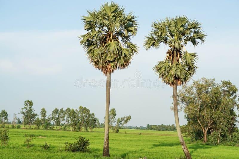 Groen padieveld met twee suikerpalmen royalty-vrije stock foto