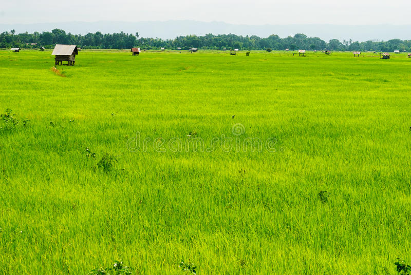 Groen padieveld met velen weinig hut in het zonlicht royalty-vrije stock foto's