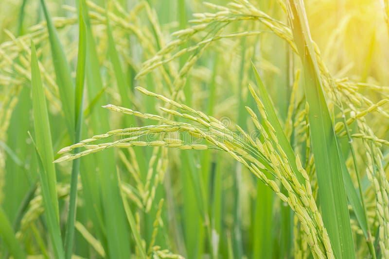 Groen padieveld met zon lichteffect, landbouwconcept royalty-vrije stock afbeeldingen