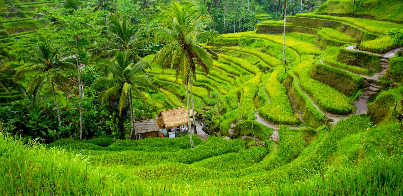 Groen padieveldenpanorama royalty-vrije stock foto