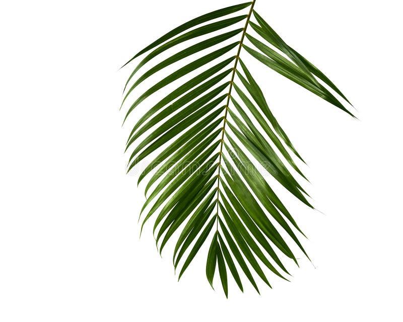 Groen palmblad geïsoleerd op wit royalty-vrije stock afbeelding