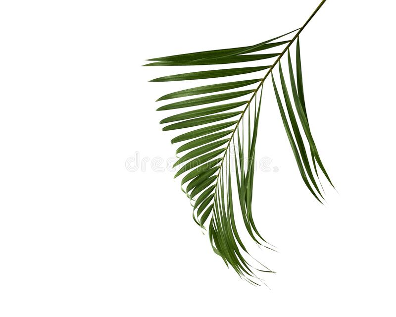 Groen palmblad geïsoleerd op wit stock fotografie