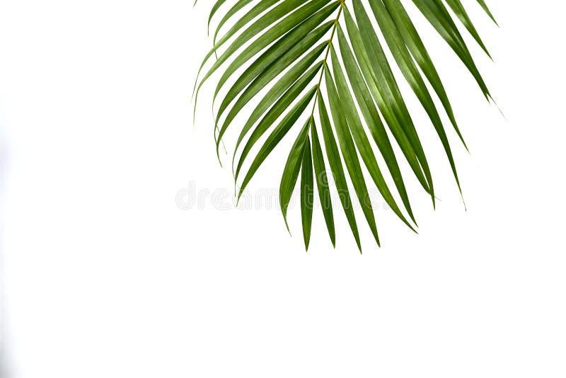 Groen palmblad geïsoleerd op wit stock afbeelding