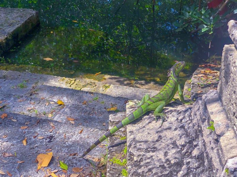 Groen reptiel dat in de zon zonnebaadt stock afbeelding
