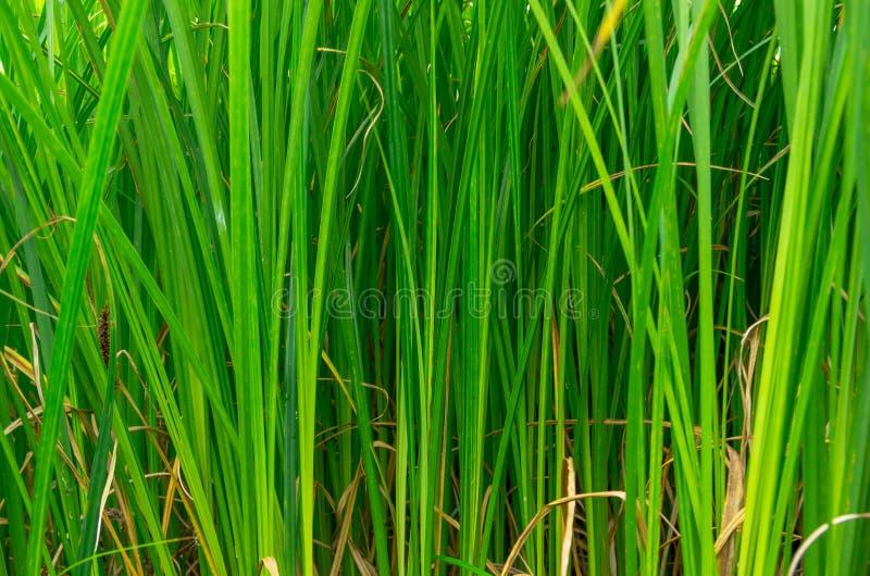 Groen riet in het moeras royalty-vrije stock fotografie