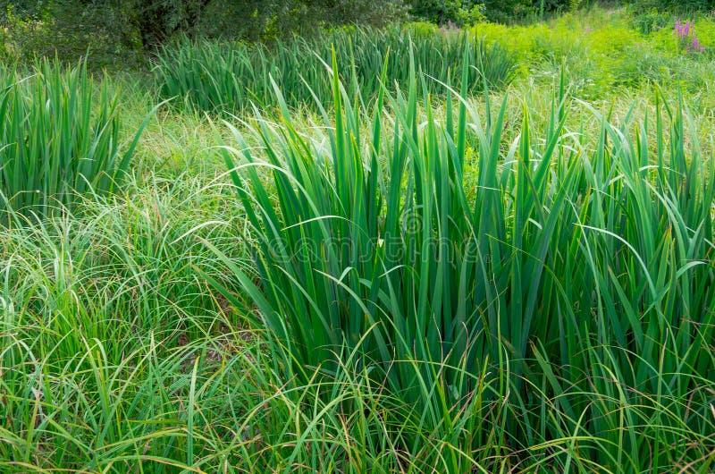 Groen riet in het moeras royalty-vrije stock afbeelding