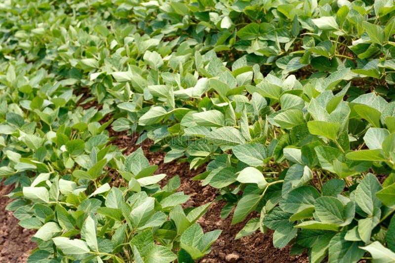 Groen rijpend sojaboongebied, landbouw stock foto