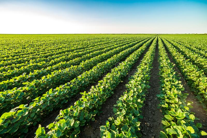 Groen rijpend sojaboongebied, landbouwlandschap stock afbeeldingen