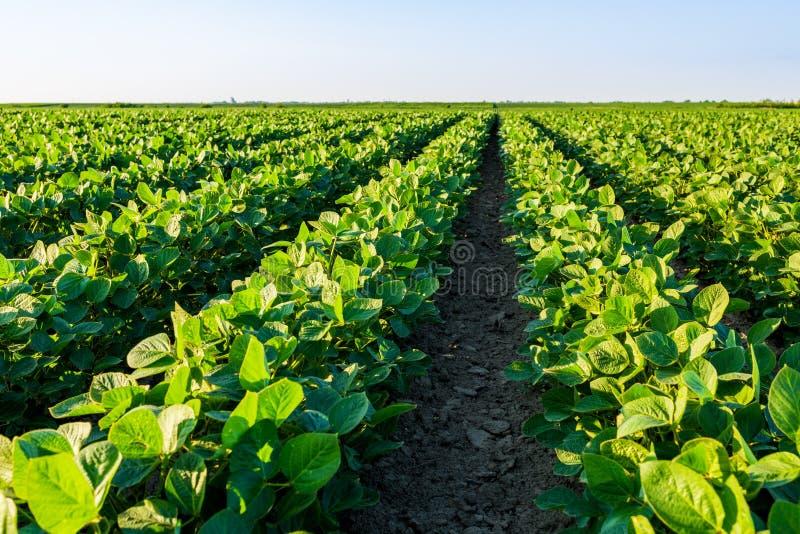 Groen rijpend sojaboongebied, landbouwlandschap stock afbeelding