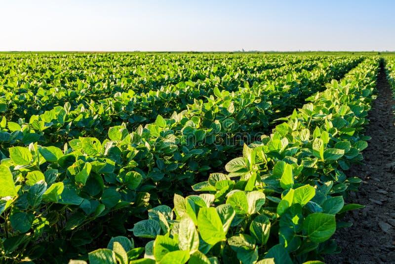 Groen rijpend sojaboongebied, landbouwlandschap royalty-vrije stock afbeelding