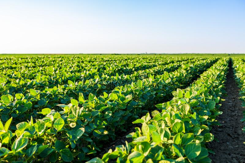 Groen rijpend sojaboongebied, landbouwlandschap royalty-vrije stock foto's