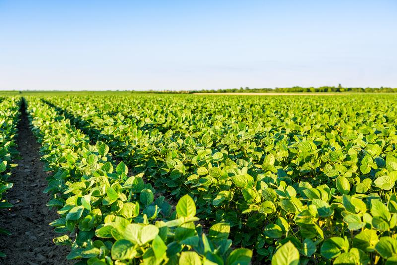 Groen rijpend sojaboongebied, landbouwlandschap stock fotografie