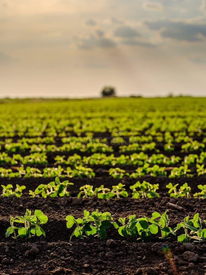 Groen rijpend sojaboongebied, landbouwlandschap royalty-vrije stock afbeeldingen