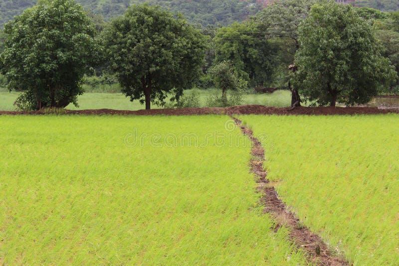 Groen Rijstlandbouwbedrijf met bomen royalty-vrije stock fotografie