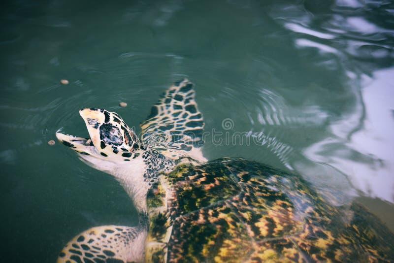 Groen schildpadlandbouwbedrijf en het zwemmen op watervijver - hawksbill zeeschildpad die het voeden voedsel eten royalty-vrije stock fotografie