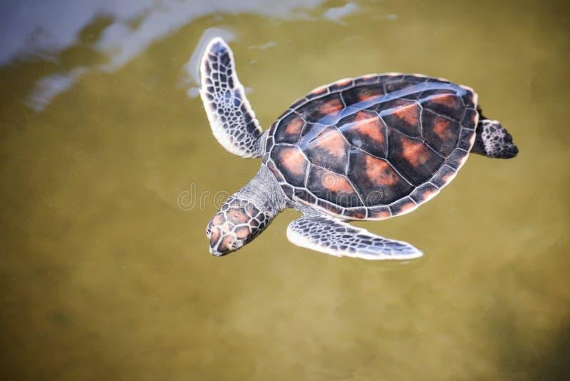 groen schildpadlandbouwbedrijf en het zwemmen van op de zeeschildpad van de watervijver hawksbill weinig baby 2-3 maanden oud stock foto's