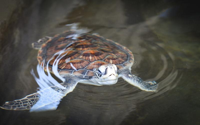 groen schildpadlandbouwbedrijf en weinig het zwemmen op watervijver - hawksbill zeeschildpad stock foto