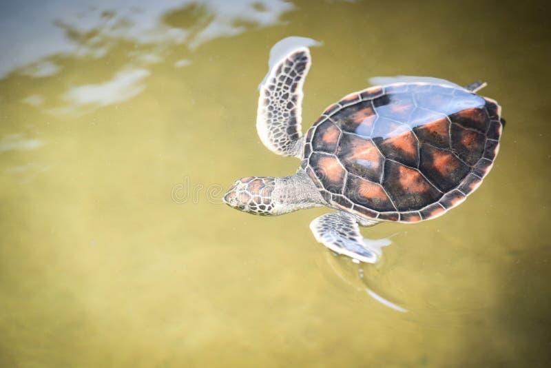groen schildpadlandbouwbedrijf en weinig het zwemmen op watervijver - hawksbill zeeschildpad stock foto's