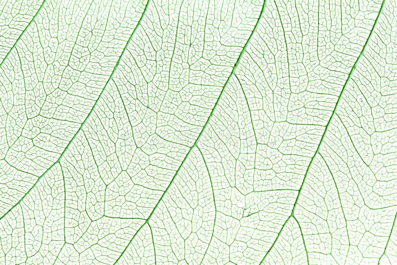 Groen skeletblad royalty-vrije stock fotografie
