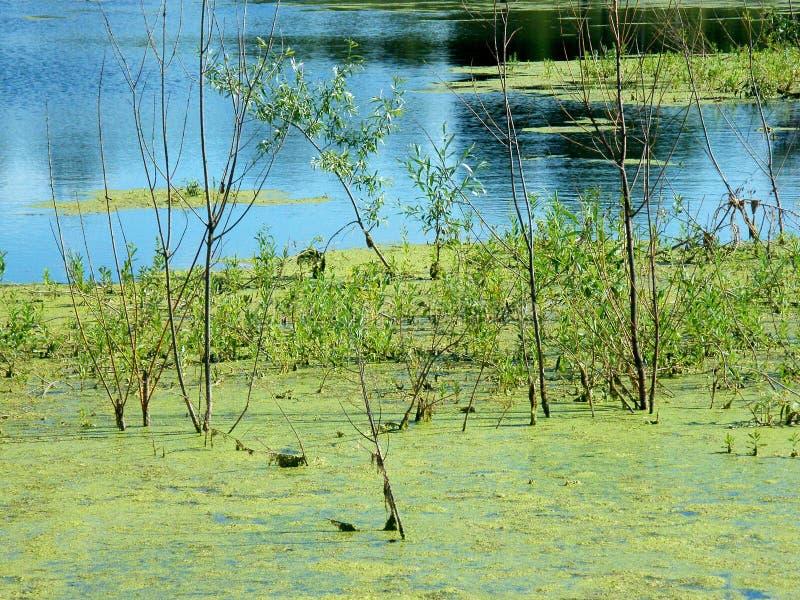 Groen slijm in het moeras royalty-vrije stock foto's
