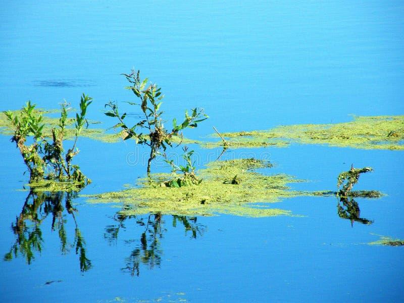 Groen slijm in het moeras stock foto