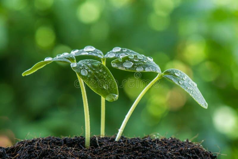 Groen spruitzaad stock afbeelding
