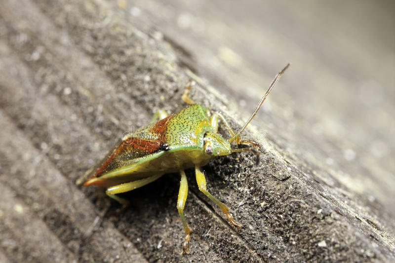 Groen stink insect stock foto