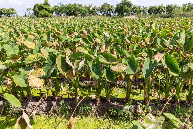Groen Taro Plant Een gebied van taroinstallaties Een gebied van tarolandbouwbedrijf plant het groeien royalty-vrije stock foto's