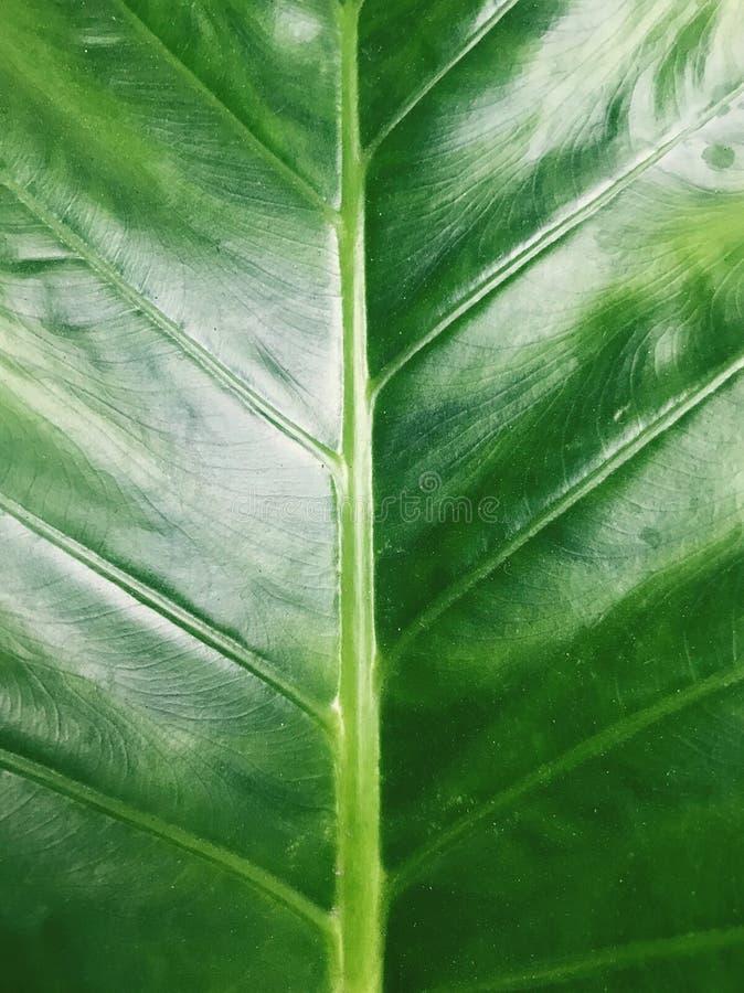 Groen taroblad royalty-vrije stock fotografie