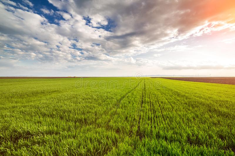 Groen tarwegebied royalty-vrije stock foto