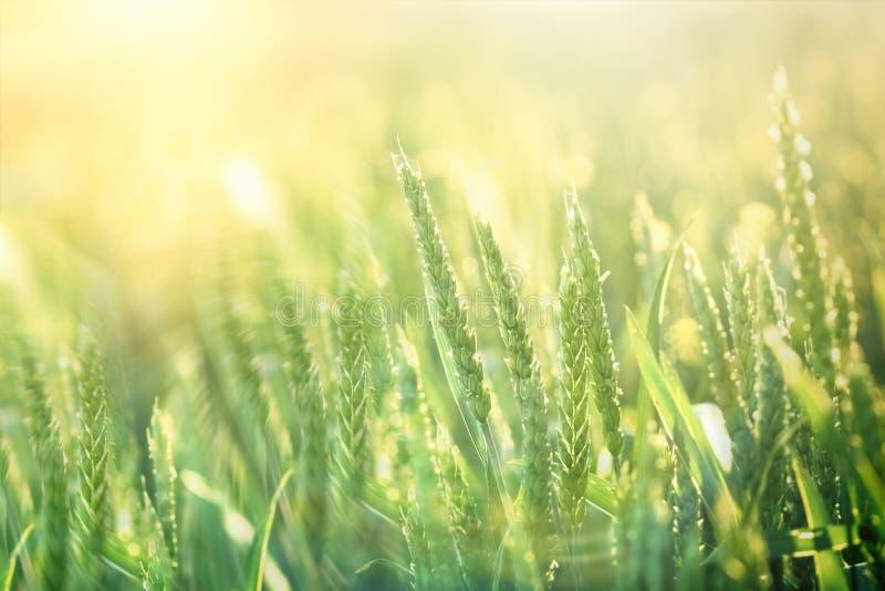 Groen tarwegebied - de goede oogst wordt verwacht royalty-vrije stock foto