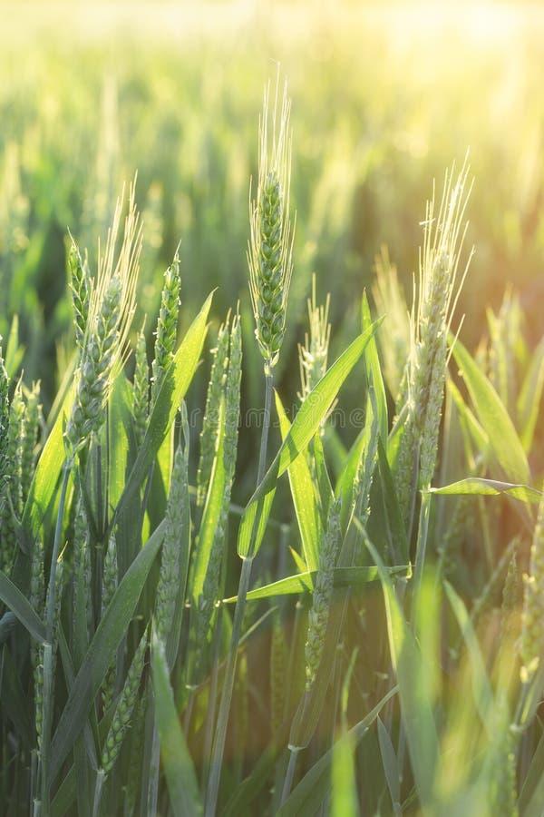 Groen tarwegebied - het onrijpe die gebied van de tarwetarwe door zonlicht wordt aangestoken stock afbeelding