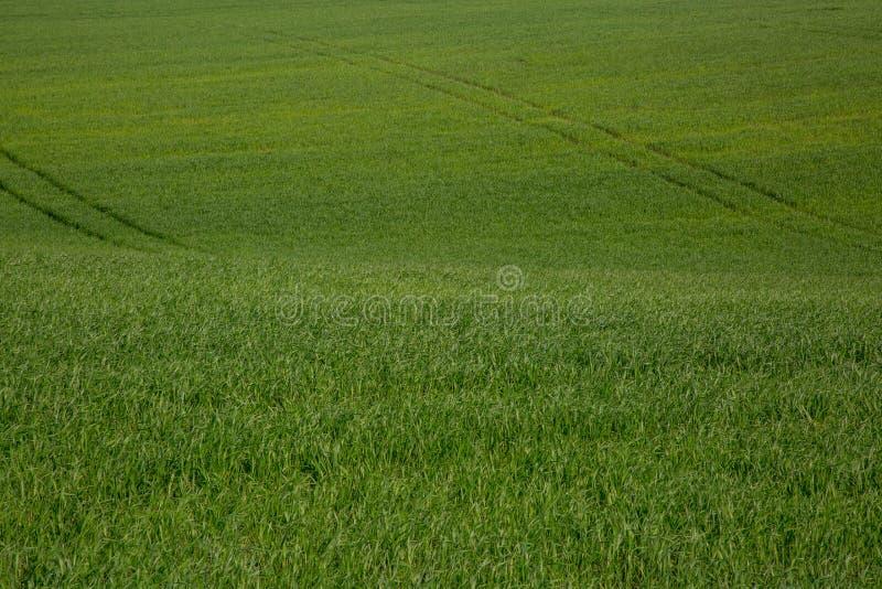 Groen tarwegebied royalty-vrije stock afbeelding