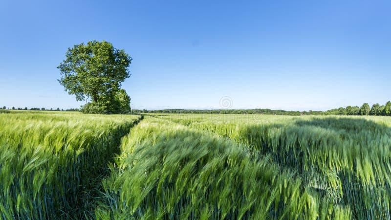 Groen tarwegebied met boom en blauwe hemel op een aardige de zomerdag in Duitsland royalty-vrije stock afbeelding