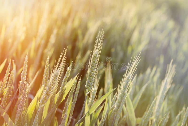 Groen tarwegebied - onrijpe die tarwe door zonlicht, recente middag op tarwegebied wordt aangestoken royalty-vrije stock fotografie