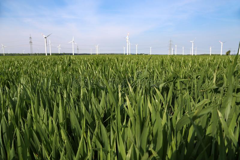 Groen tarwegebied op een zonnige de zomerdag royalty-vrije stock afbeelding