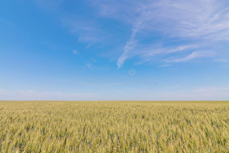 Groen tarwegebied op zonnige dag stock afbeeldingen