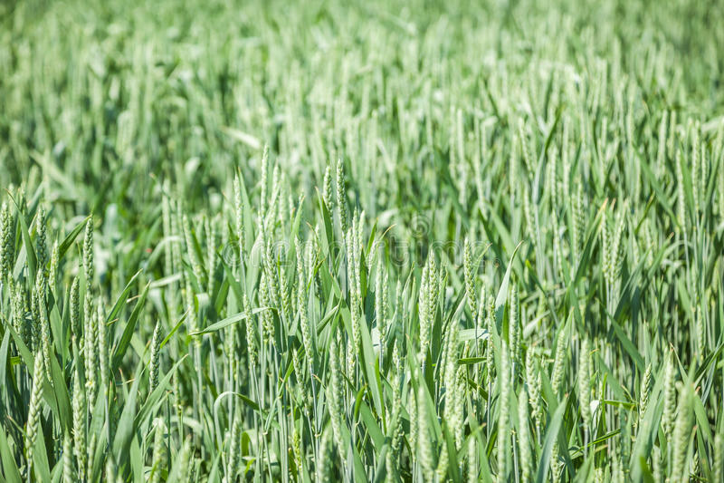 Groen tarwegebied op zonnige de zomerdag royalty-vrije stock foto's