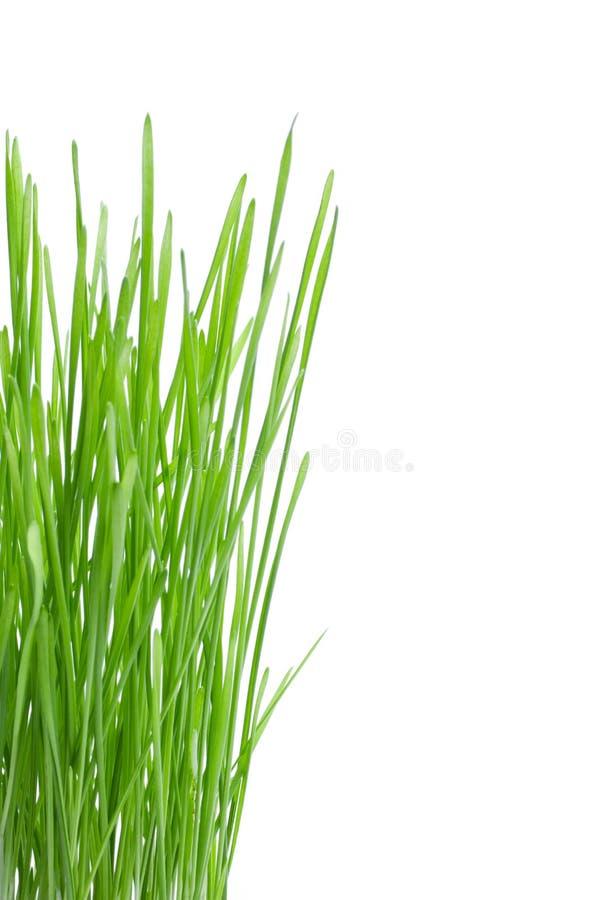 Groen tarwegras royalty-vrije stock fotografie