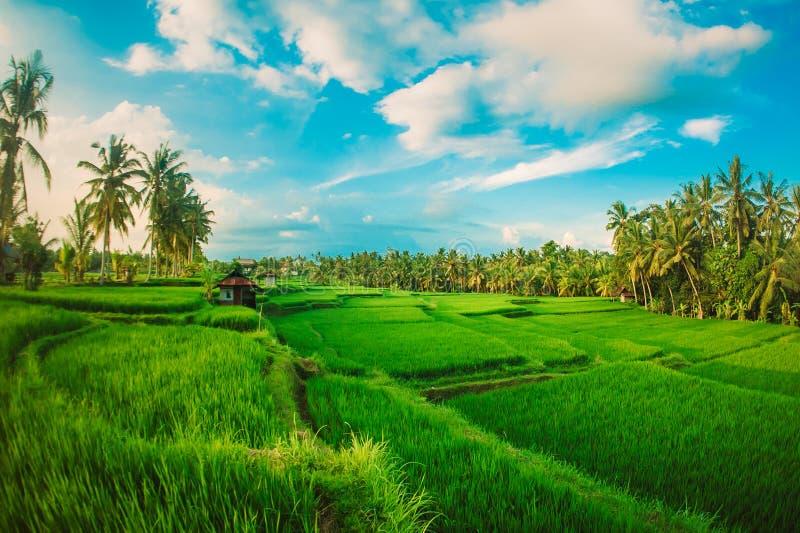 Groen Terrasvormig Padieveld De achtergrond van het aardlandschap Ubud bedelaars stock foto